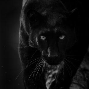 Black Panther - Panthère Noir